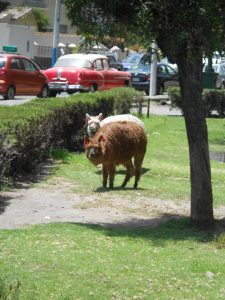Lhamas na praça - caminho a Yanahuara