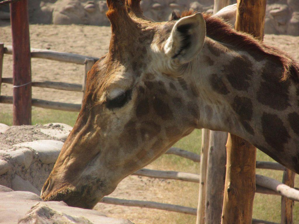 huachipa-girafa