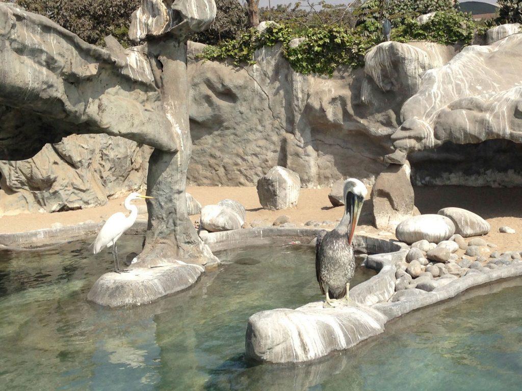 huachipa-pelicano