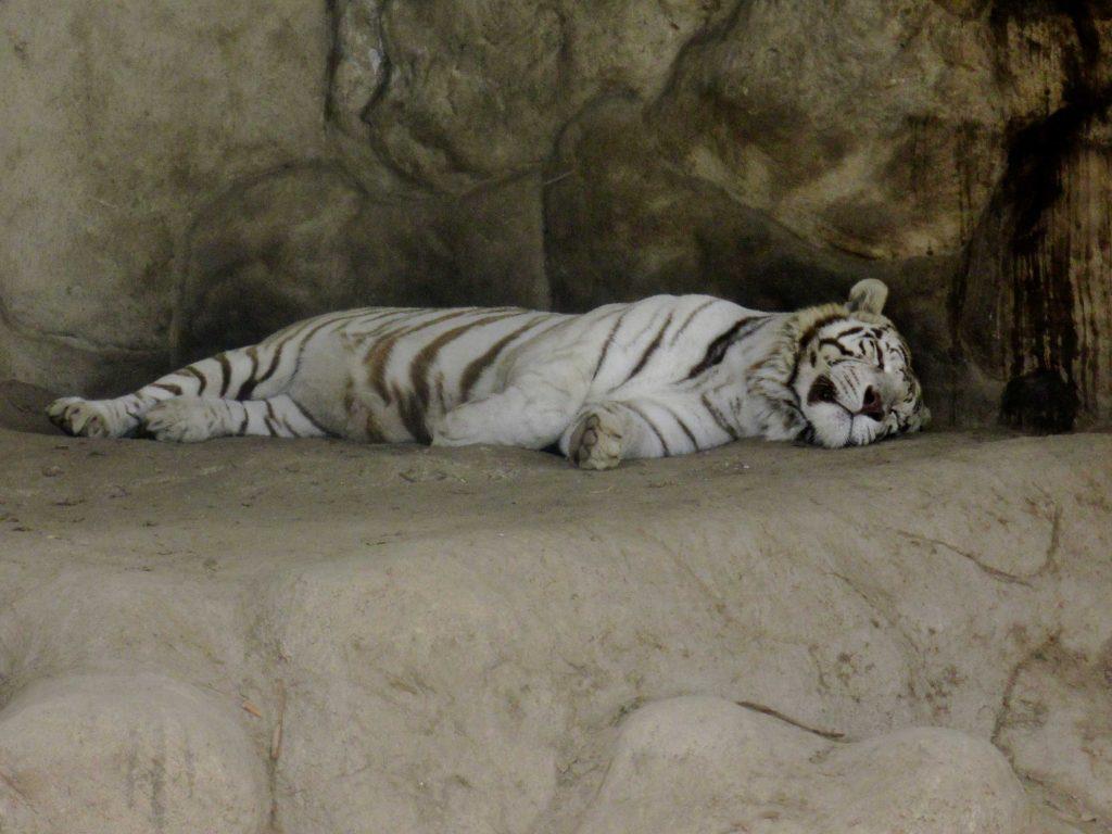 """O raro tigre de bengala, uma das estrelas do parque. Infelizmente """"mimindo"""" como diz Olivia..."""