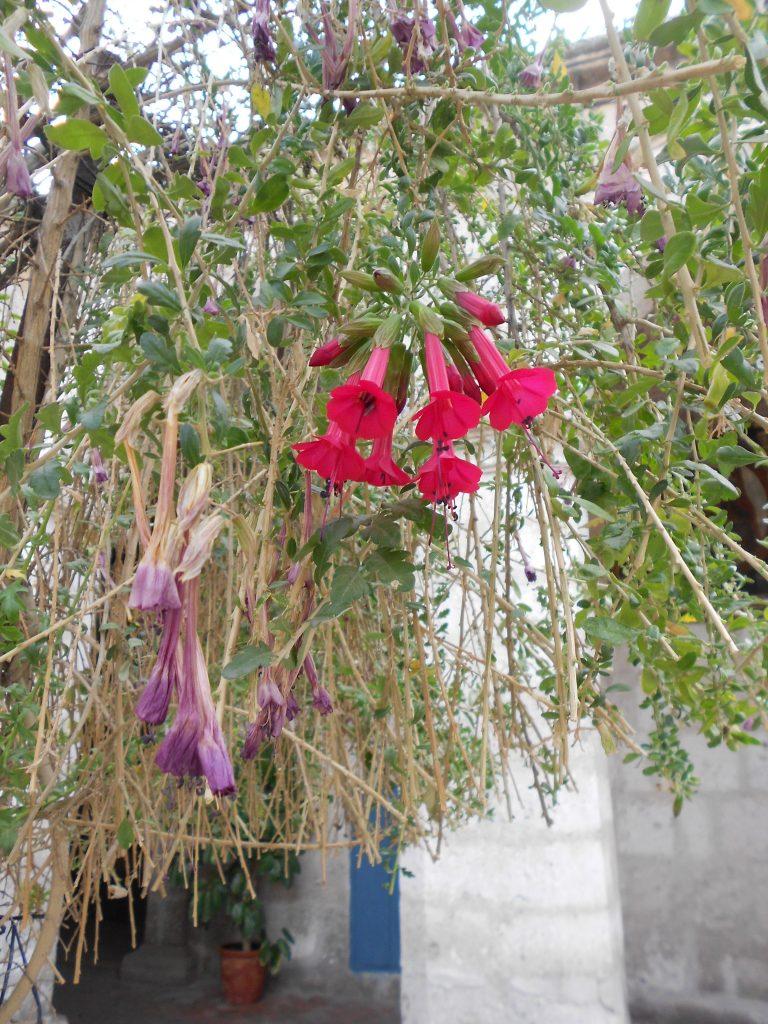 Cantuta, a flor peruana.